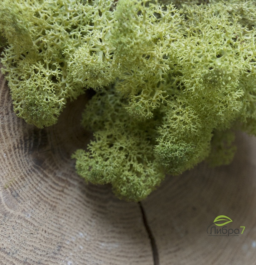 Стабилизированный мох Цвет Old spring 100 грамм.