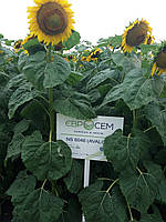 Семена подсолнечника НС Авалон A-G + (ЕвроСем)