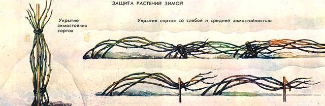 Укрытие малины на зиму в Украине, рекомендации, схема
