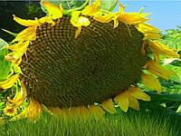 Семена подсолнечника (NS H 6059)* під гранстрар / п.о.