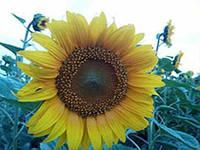 Семена подсолнечника NS SUMO 556 під гранстрар / п.о.