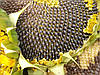 Семена подсолнечника Альварез