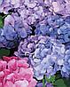 AS0334 Набор живописи по номерам Цветущая гортензия