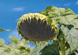 Семена подсолнечника Карат