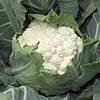 Семена цветной капусты Санта Мария F1 \ Cantamaria F1 2500 семян Rijk Zwaan