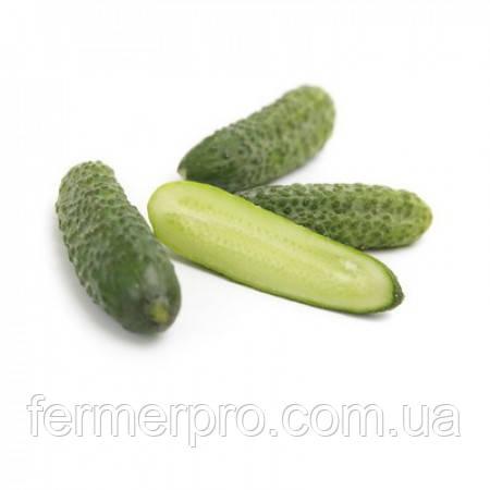 Семена огурца Лист F1 \ Liszt F1 250 семян Rijk zwaan