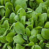Семена шпината Сильвервейл F1 \ Silverwhale F1 1.000.000 семян Rijk zwaan