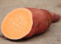 Маточный клубень Батат Орлеан или Оранж кустовой сладкий урожайный десертный