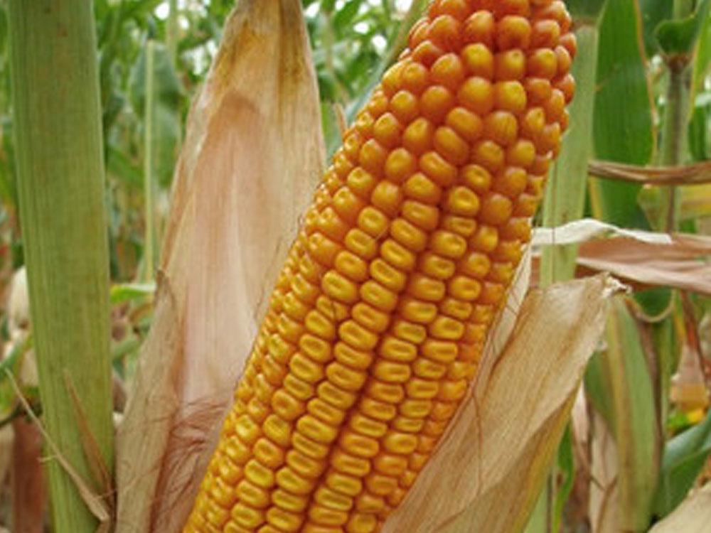 Кукуруза Заатбао Грімальді (Grimaldie)