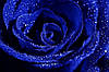 Три долгосвежих розы Синий Сапфир 5 карат на коротком, фото 3