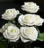 Три долгосвежих розы Белый Бриллиант  5 карат на коротком, фото 4