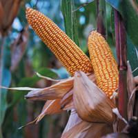Семена кукурузы - ИСБЕРИ