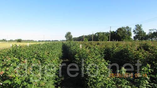 Саженцы (рассада) малины крупноплодной