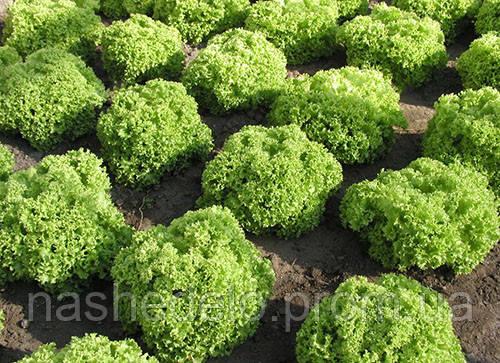 Семена кучерявого салата Златава 5000 семян Semo