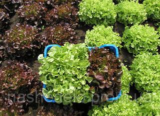 Семена дуболистного салата Дубаред 5000 семян Semo