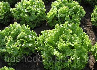 Семена салата батавия Золтан 5000 семян Semo