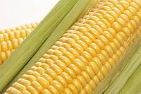 Семена кукурузы - НС 101