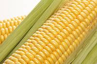 Семена кукурузы - НС 300