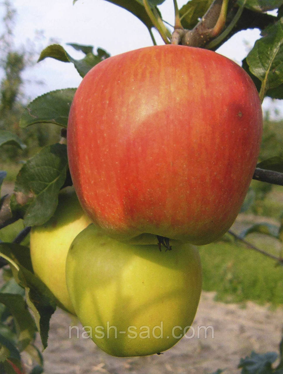 Саженцы яблони  Дельбарестивале (Делькорф) (Франция)