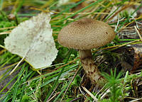 Мицелий (грибница) ПАУТИННИКА ЧЕШУЙЧАТОГО маточный зерновой биологически высушеный