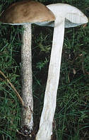 Мицелий (грибница) ПОДБЕРЕЗОВИКА РОЗОВЕЮЩЕГО ( ОКИСЛЯЮЩИЙСЯ ) маточный зерновой биологически высушеный
