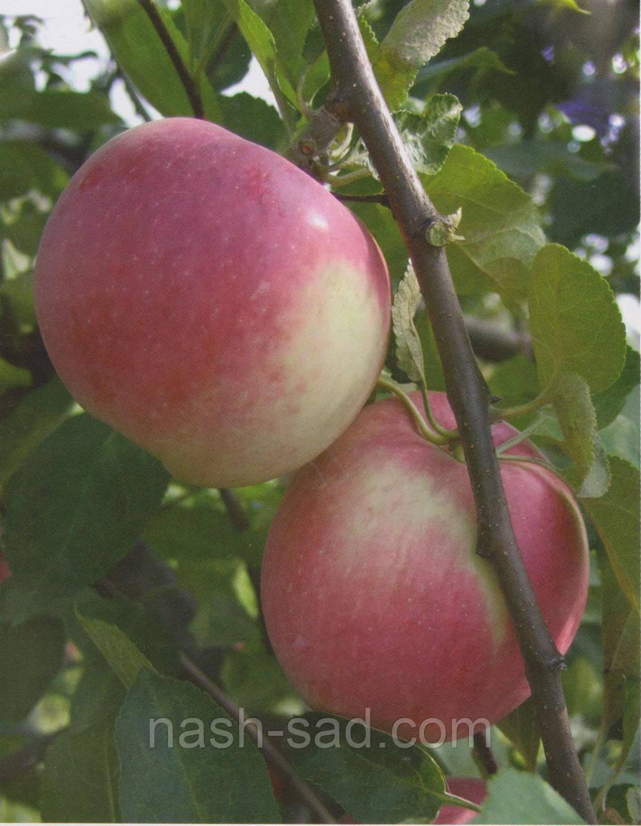 Саженцы яблони Слава Победителям (Украина)