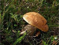 Мицелий (грибница) ПОДОСИНОВИКА ЖЕЛТО-БУРОГО ( КРАСНО-БУРОГО ) маточный зерновой биологически высушеный