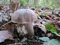 Мицелий (грибница) ПОДОСИНОВИКА СЕРОГО маточный зерновой биологически высушеный