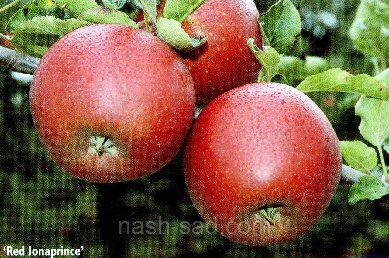 Саженцы яблони Джонаголд Ред Джонапринц (Голландия)