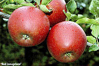Саженец яблони Джонаголд Ред Джонапринц (Голландия)