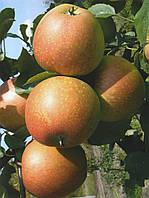 Саженцы яблони Катерина (Украина)
