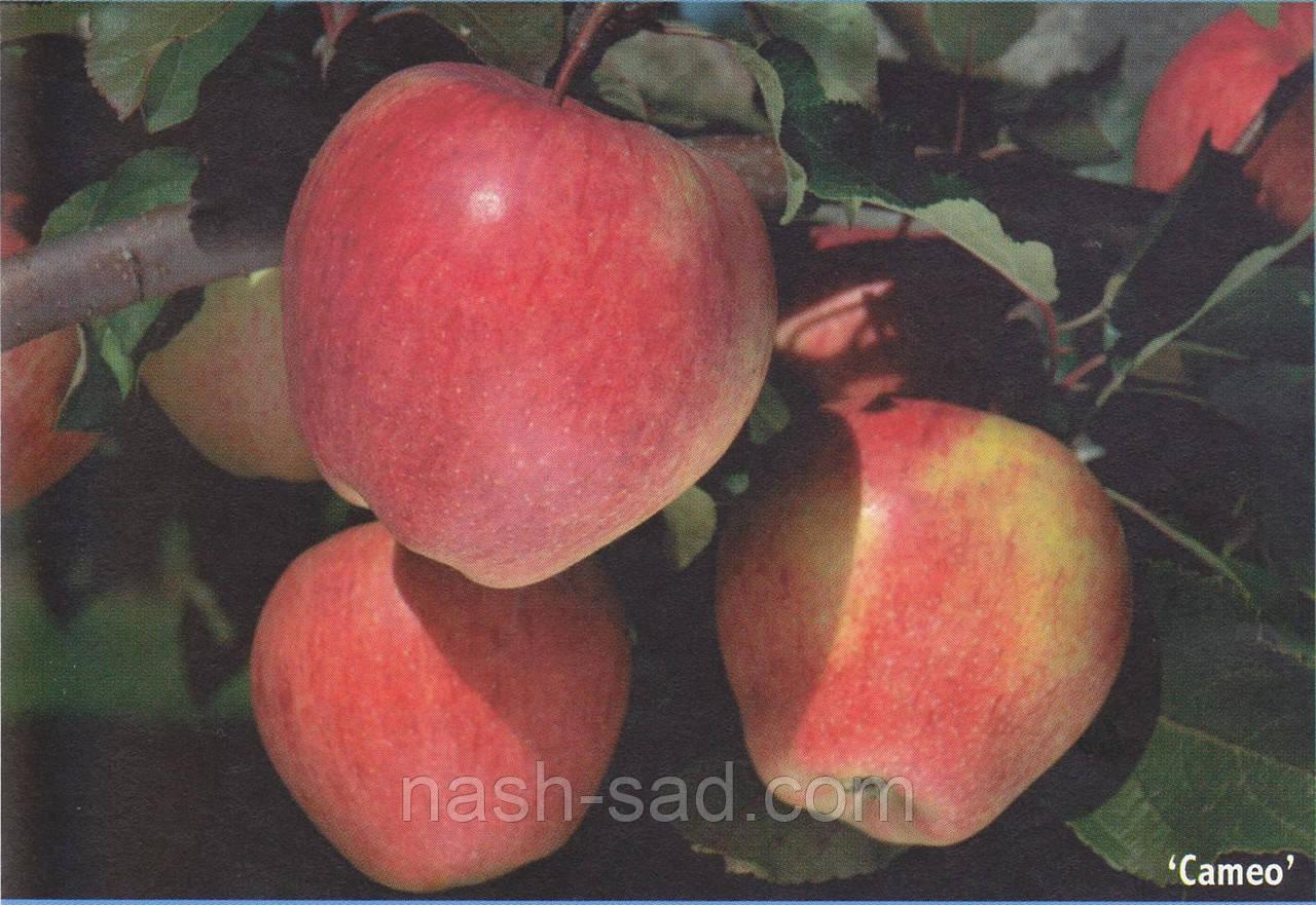 Саженцы яблони Камео (США)