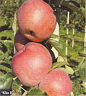 Саженцы яблони Кику-8 ( Италия )