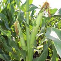 Семена кукурузы - Любава  279 МВ