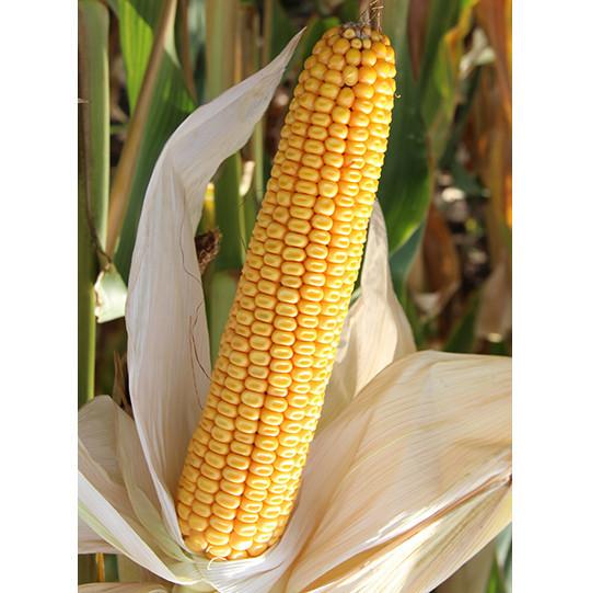 Кукуруза Заатбао Торрано (Torrano)