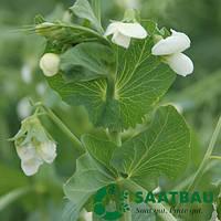 Семена гороха Стабил от Саатбау (Saatbau)