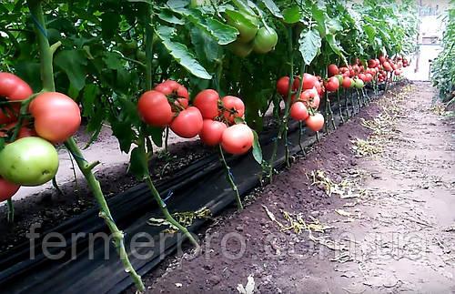 Семена томата Мануса F1 \ Manusa F1 1000 семян Rijk zwaan