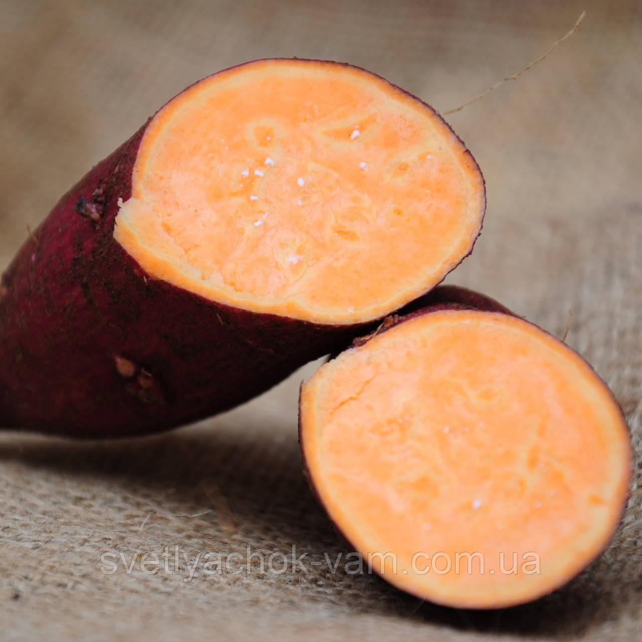 Маточный клубень Батат Рубин Каролины Carolina Ruby сладкий очень урожайный лежкий сорт