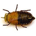 Майский жук 33мм, фото 3