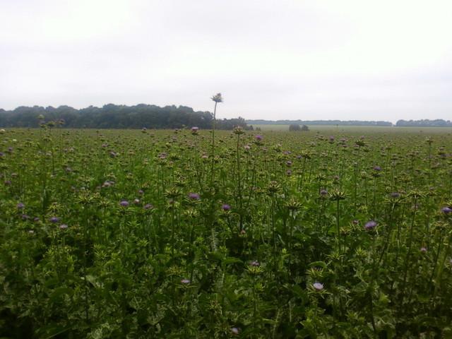 Расторопша пятнистая поле
