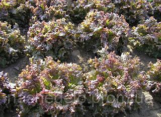 Семена салата батавия Роден 5000 семян Semo