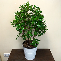 Декоративное растение Фикус Микрокарпа