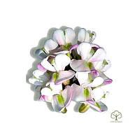Акация белая цветки 100 грамм (Robinia pseudoacacia, flos Black Locust)