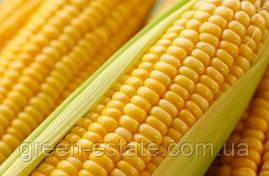 Кукуруза Брусница (весовая)
