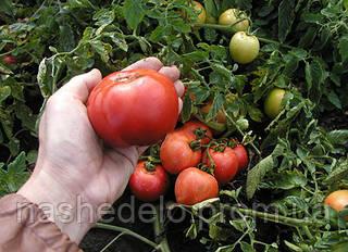 Семена томата Павлина 10 000 семян Semo