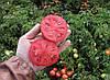 Семена томата Тереза F1 20 гр. Semo
