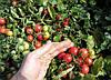 Семена томата Рубинек 10 000 семян Semo