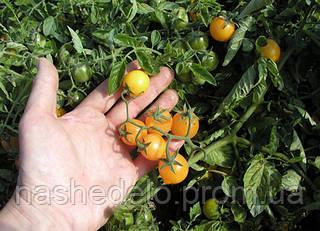 Семена томата Миниголд 10 000 семян Semo