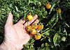 Семена томата Миниголд 100 гр. Semo