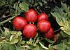 Семена томата Семарол 10 000 семян Semo